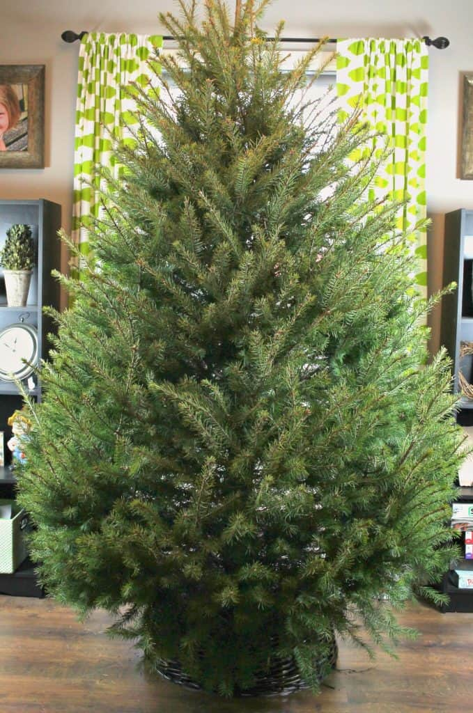 undecorated-christmas-tree