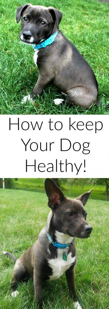 how-to-keep-your-dog-healthy-as-he-ages