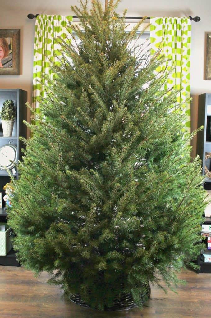 undecorated-christmas-tree