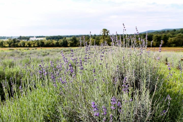 Lavender fields Springfield Manor Winery Frederick MD