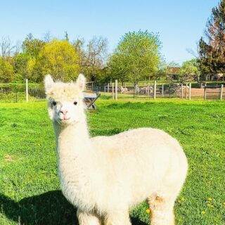 white alpaca in a field at Alpacas of York