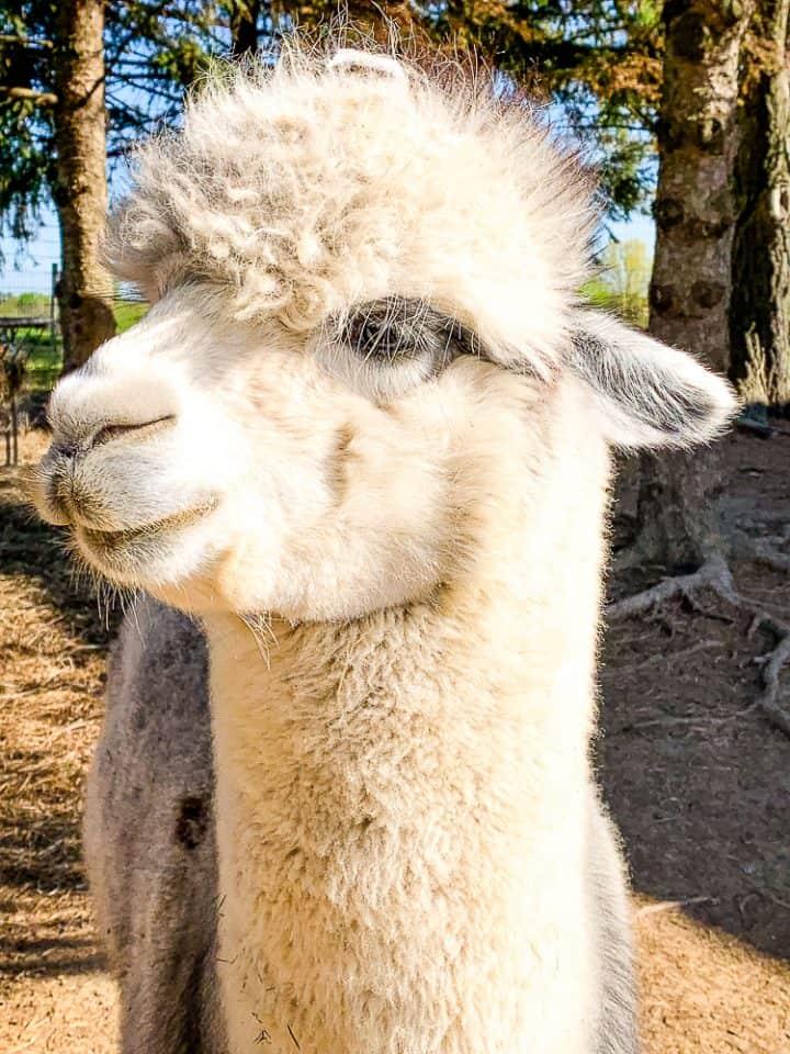 white alpaca up close at Alpacas of york tour