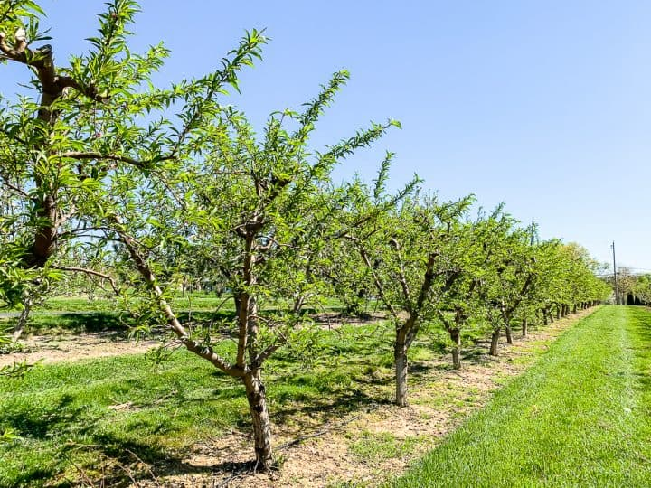 apple orchards at Flinchbaugh's Farm and orchard