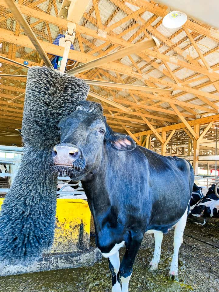 large black cow in a barn getting scratched at Perrydell Farm