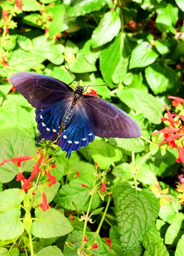 blue butterfly on tropical plant at the Hershey Gardens butterfly atrium