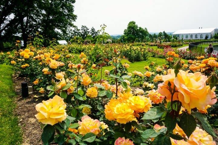 orange roses at the Hershey Rose Gardens