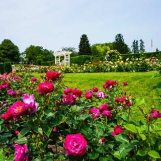 purple roses at the Hershey Gardens