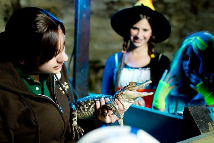 a zoo employee holding a baby gator while a girl dressed as a witch watches