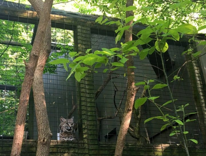 bobcat in a cage at ZooAmerica